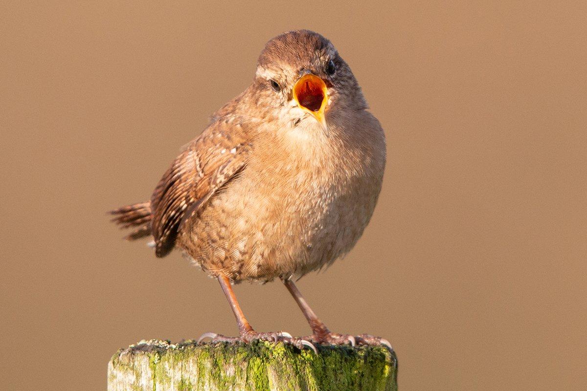 last word bird-brown bird tweeting